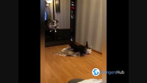 The cat beautifully dodged the dog's attack, Leningrad region, Russia