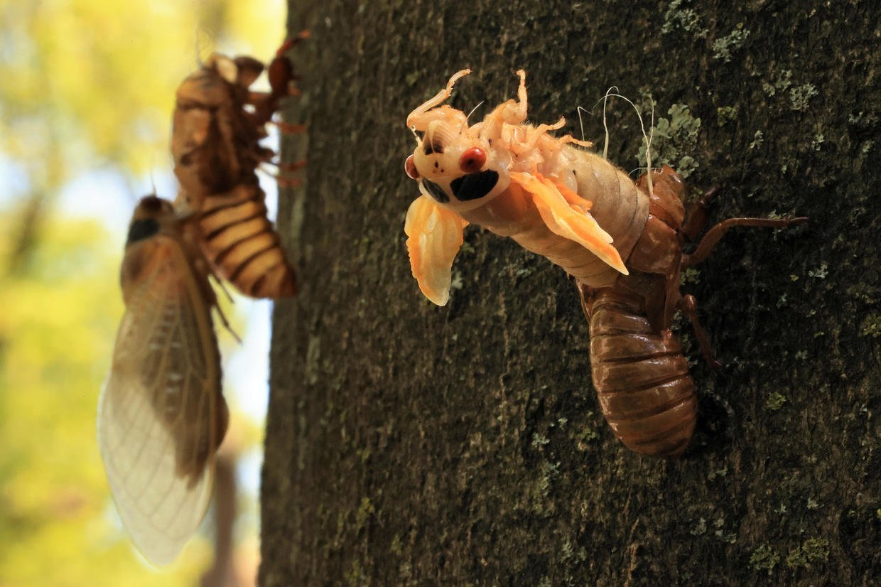 Brood X cicadas emerge after 17 years: See the pictures