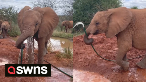 Amusing moment elephant drinks from a water hose LIKE A HUMAN