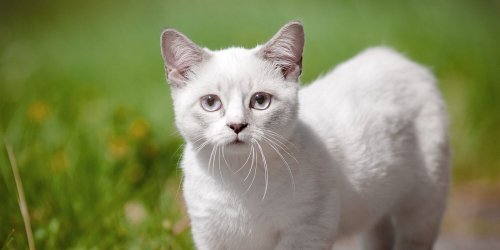 Want a Kitten Forever? Here Are 9 Small Cat Breeds