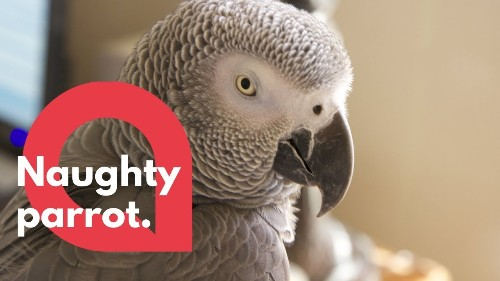 """This cheeky African Grey parrot loves saying """"shake your booty"""""""