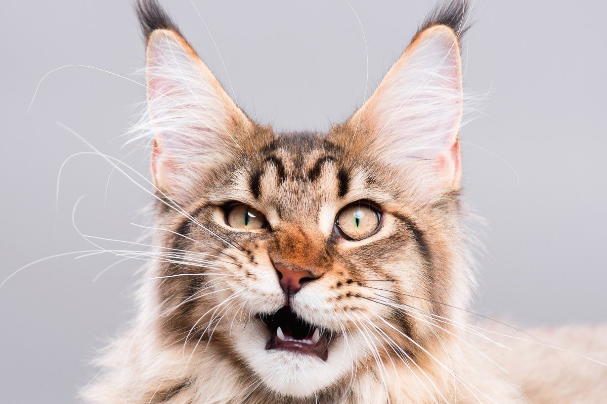 Norwegian Forest Cat vs Maine Coon: How do You Choose?