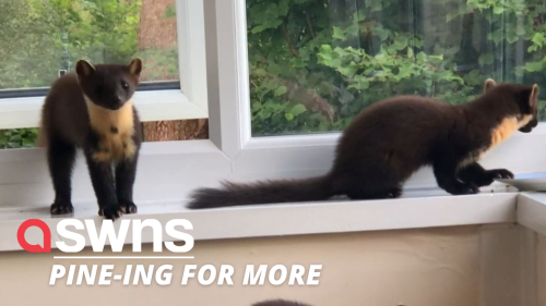 Cheeky family of pine martens break through a man's window to feast on snacks in Scotland