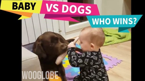 'Baby and Pet Labrador Play Tug-of-War with a Slipper'