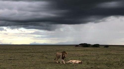 Lion couple walk across field