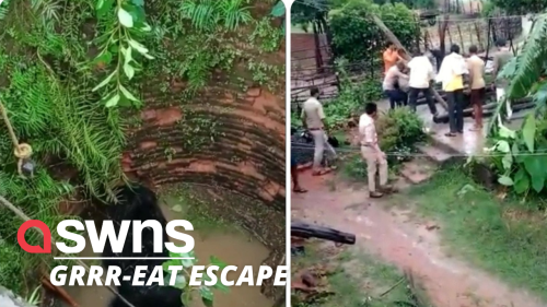 Bear that had fallen down well in India climbs up wooden pole to escape - RAW