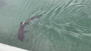 Fin-Tastic Footage! Video Shows Paddle Boarders Face-to-face With a Basking Shark!