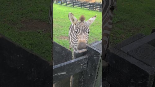 Intelligent Zebra Opens Gate