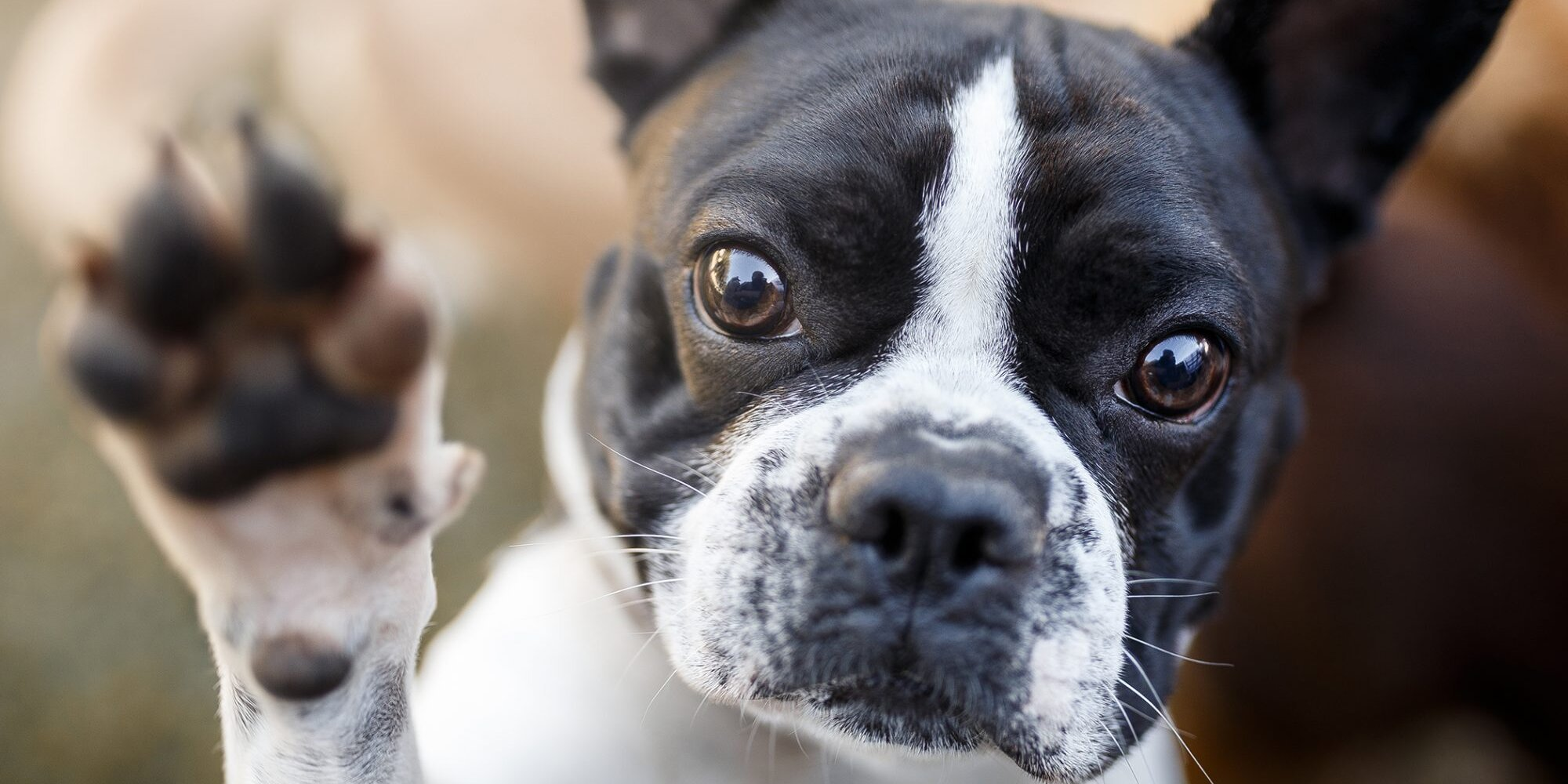 The 5 Most Popular Flat-Faced Dog Breeds—and How Best to Care for Them