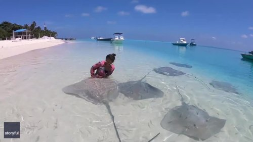 Tourist Plays With Group of Stingrays on Shore of Maldives Beach