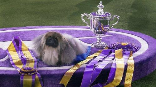 Wasabi The Pekingese Wins Westminster Kennel Club Dog Show