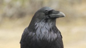 Are Crows in the Same League as Humans and Great Apes In Terms of Intelligence?