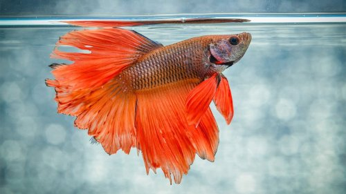 5 Things Everyone Gets Wrong About Betta Fish — And More Fish Facts