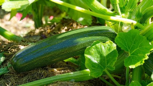 15 Easy Tips For Growing Zucchini Plants