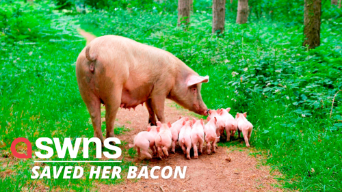 Pregnant pig escapes the chop after fleeing from a UK farm before giving birth in the woods (RAW)