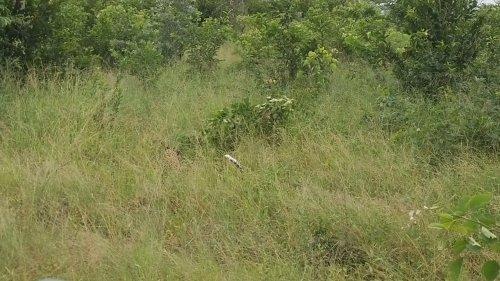 Leopard hunts down jackal