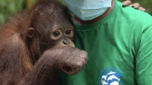 After Being Taken In By His Rescuers, this Orangutan Learns to Climb Again