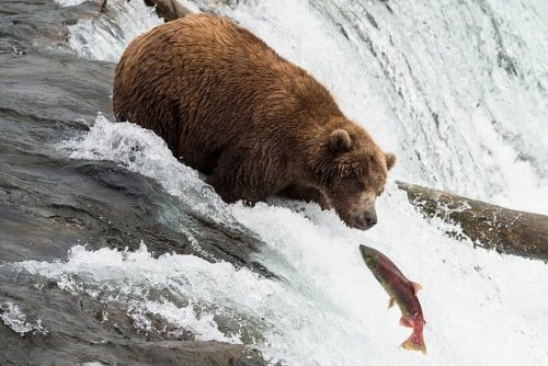 Peak Salmon Run and Bear-Watching Season at Alaska's Katmai National Park