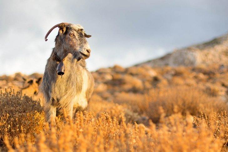 Hungry Goats Appreciation Post