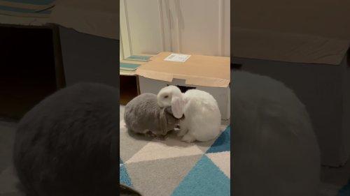 Mini lop bunny grooms sibling