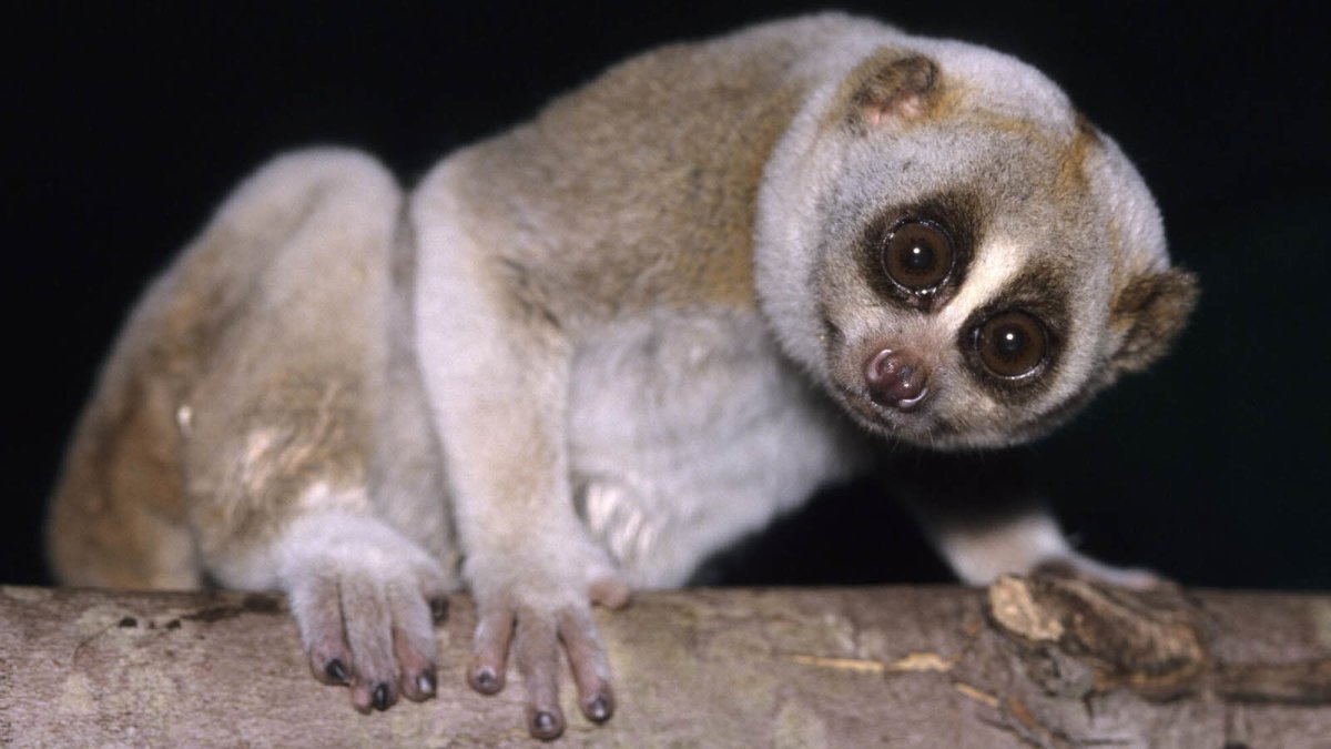 The Slow Loris and Four Other Peculiar Primates