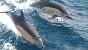 Must See! Once in a Lifetime Dolphin 'Stampede' Captured on Film off the Coast of California