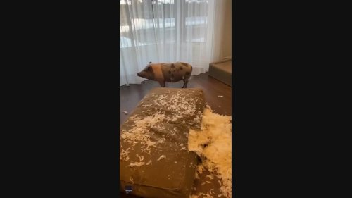 Pet Pig Looks Very Guilty in Montreal Owner's Messy Home