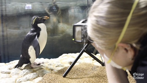 Chicagoan of the Year: Wellington the penguin behind the scenes