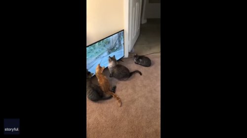 'Vain' Florida Cat Mesmerized by Mirror Reflection