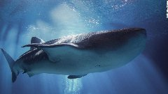 Discover whale sharks