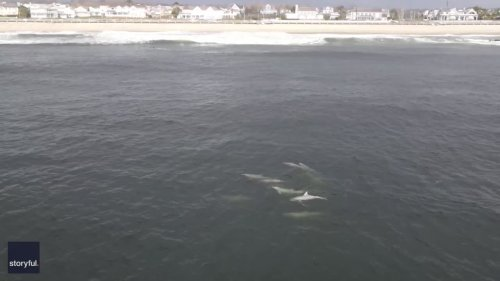 Drone Footage Captures Dolphin Pod Swimming Off New Jersey Beachfront