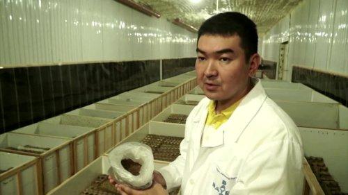 A cricket farm first for Kyrgyzstan