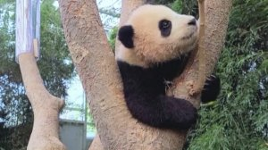 Viral Video Shows Cut Panda Cub Clinging To Zookeeper's Leg!