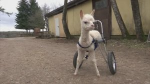 Walking On Sunshine! This Orphaned Baby Alpaca Is Walking Again Thanks to an Animal Wheelchair!