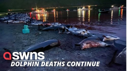 Another 53 dolphins slaughtered in the Faroe Islands