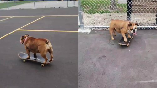 'Bulldog Tries to Skate Away from Owner after being Told to Return Home'