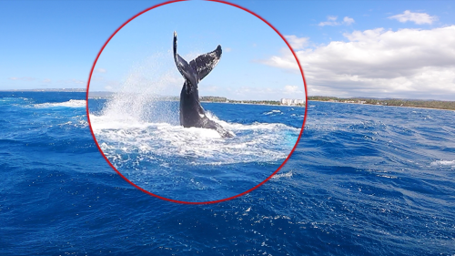 'Rincon, Puerto Rico: Kiteboarding Next to a Whale (Cool)'