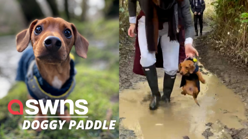 Adorable pup paddles through the air after crossing a puddle