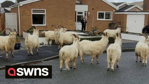 Officials considering round-up of wild goats in Welsh town after one killed by car