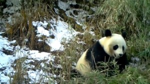 Infrared Camera Catches Happy Panda Eating Bamboo in China's Sichuan Province