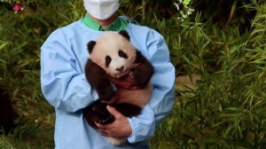 A Very Cute Debut for This Baby Giant Panda in South Korea!