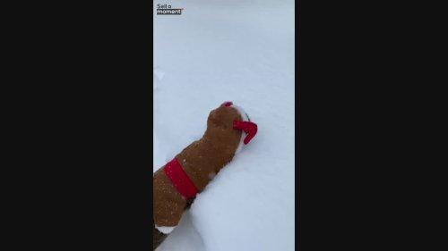 Reindeer cat walks in deep snow
