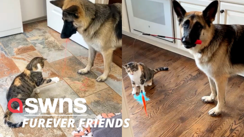 German shepherd brings toys to his cat sister every morning to get her to play with him