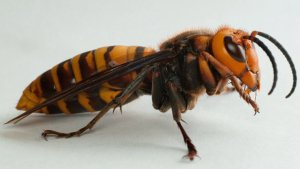 New Species of Murder Hornet Discovered in Washington State