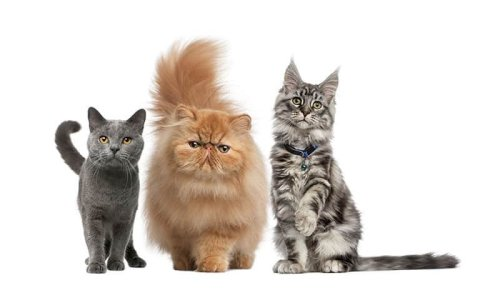 THE MOST EXPENSIVE CATS IN THE WORLD