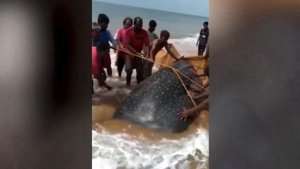 These Heroes Attempt to Push Beached Whale Shark Back into the Water!