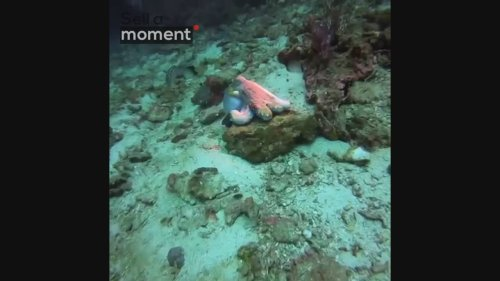 Octopus changes colour on rock