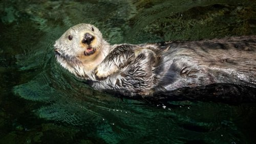 Behind the scenes with the Shedd Aquarium otters