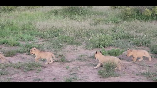 Beautiful Lion Cubs Stroll The Jungle