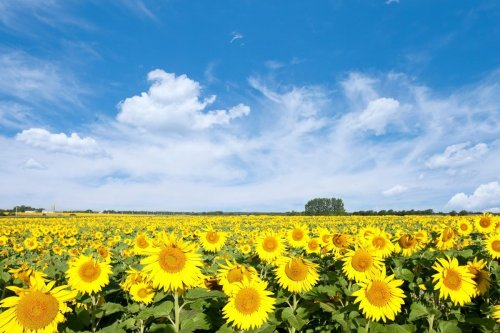 7 US States that Have the Best Sunflower Fields - How Many Have You Seen?